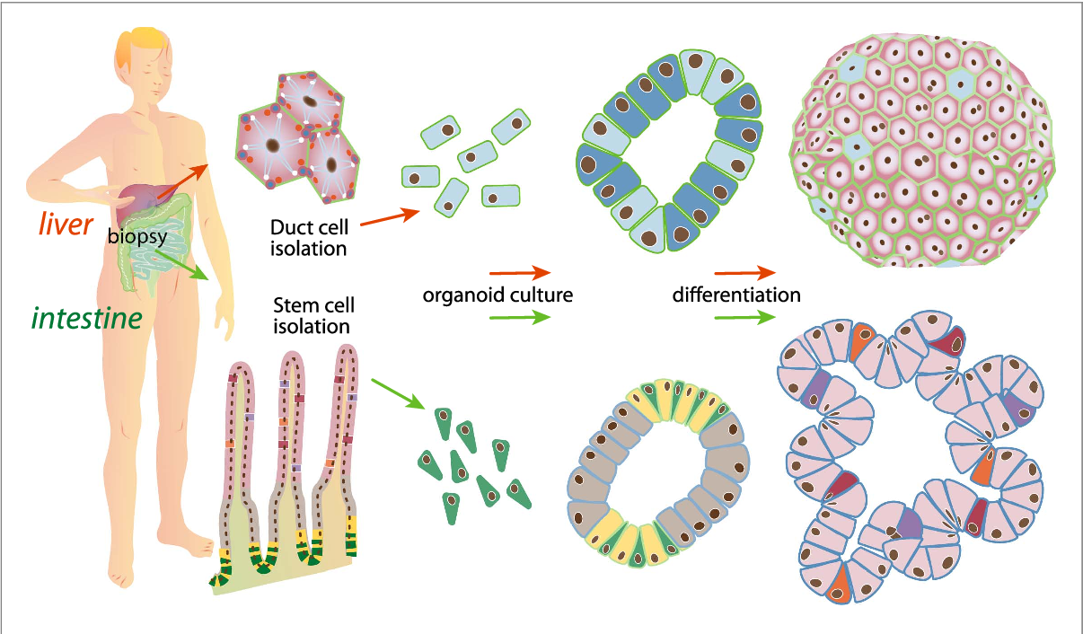 Converging Biofabrication And Organoid Technologies The Next Frontier In Hepatic And Intestinal Tissue Engineering Semantic Scholar