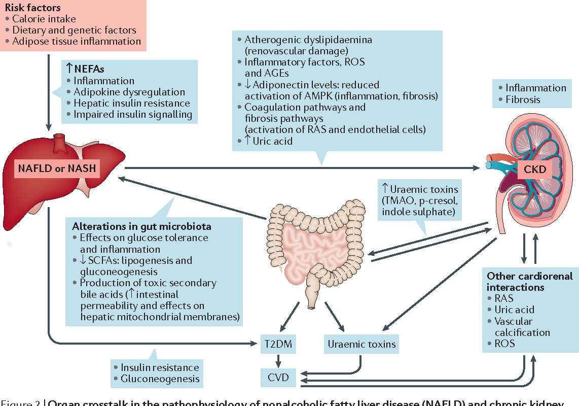 Figure 2 From Non Alcoholic Fatty Liver Disease An Emerging Driving Force In Chronic Kidney Disease Semantic Scholar