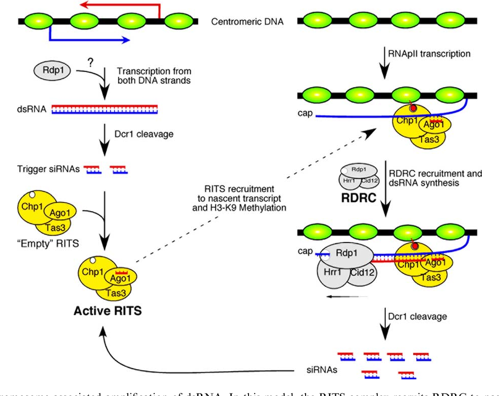 Figure 3 from RNAi-directed assembly of heterochromatin in