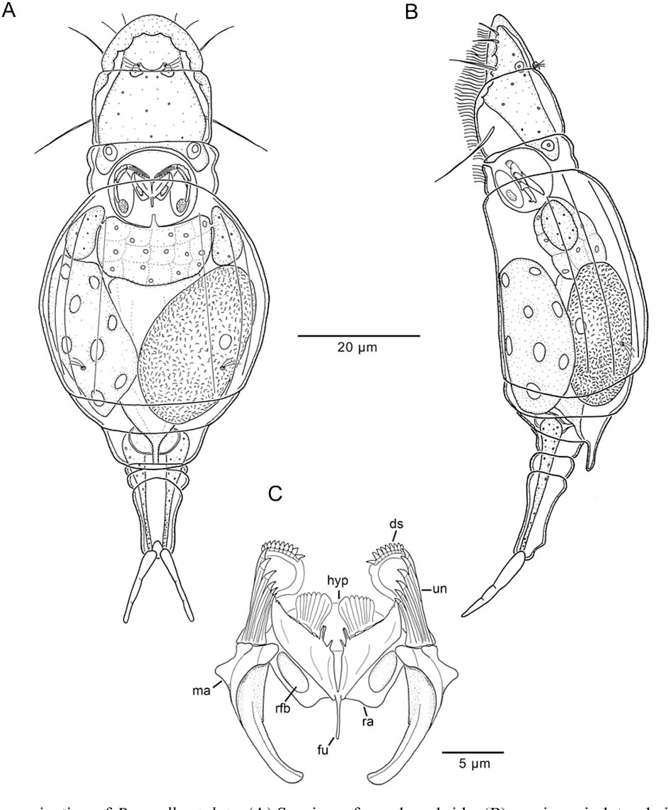 Rotifera / 4 : the proalidae (Monogononta)