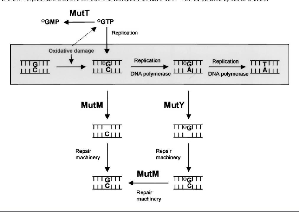 Figure 1 From Mutyh Myh And Colorectal Cancer Semantic Scholar